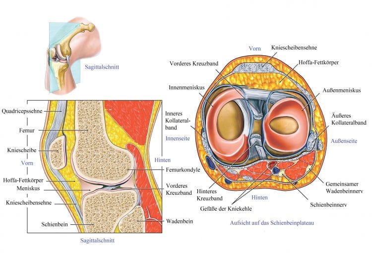 Quadriceps, Sehne, Femur, Kniescheibe