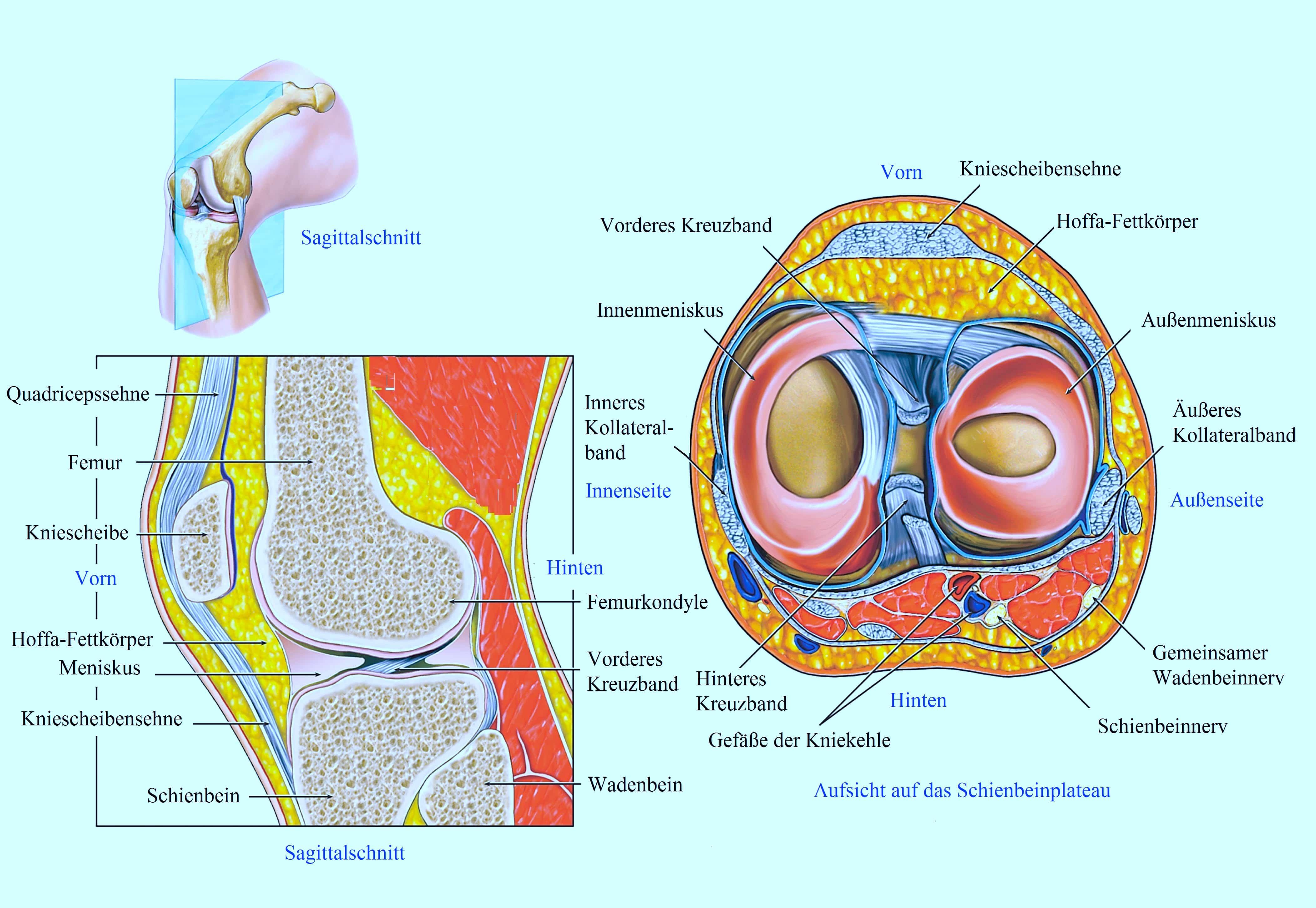 Anatomie des Kniegelenks, Aufbau, Gelenkart, Bänder, Meniskus, Knochen