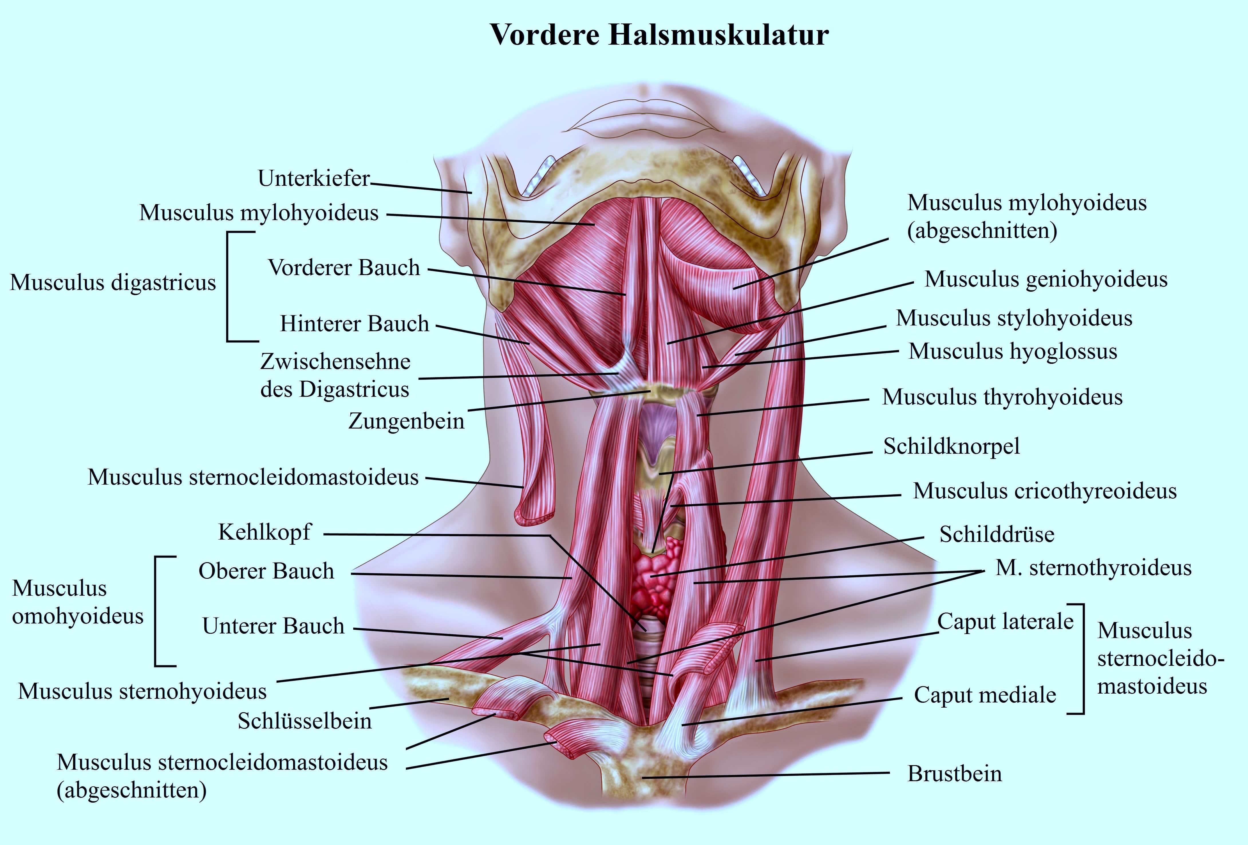 Vordere Halsmuskulatur, Zungenbein, Sternocleidomastoideus
