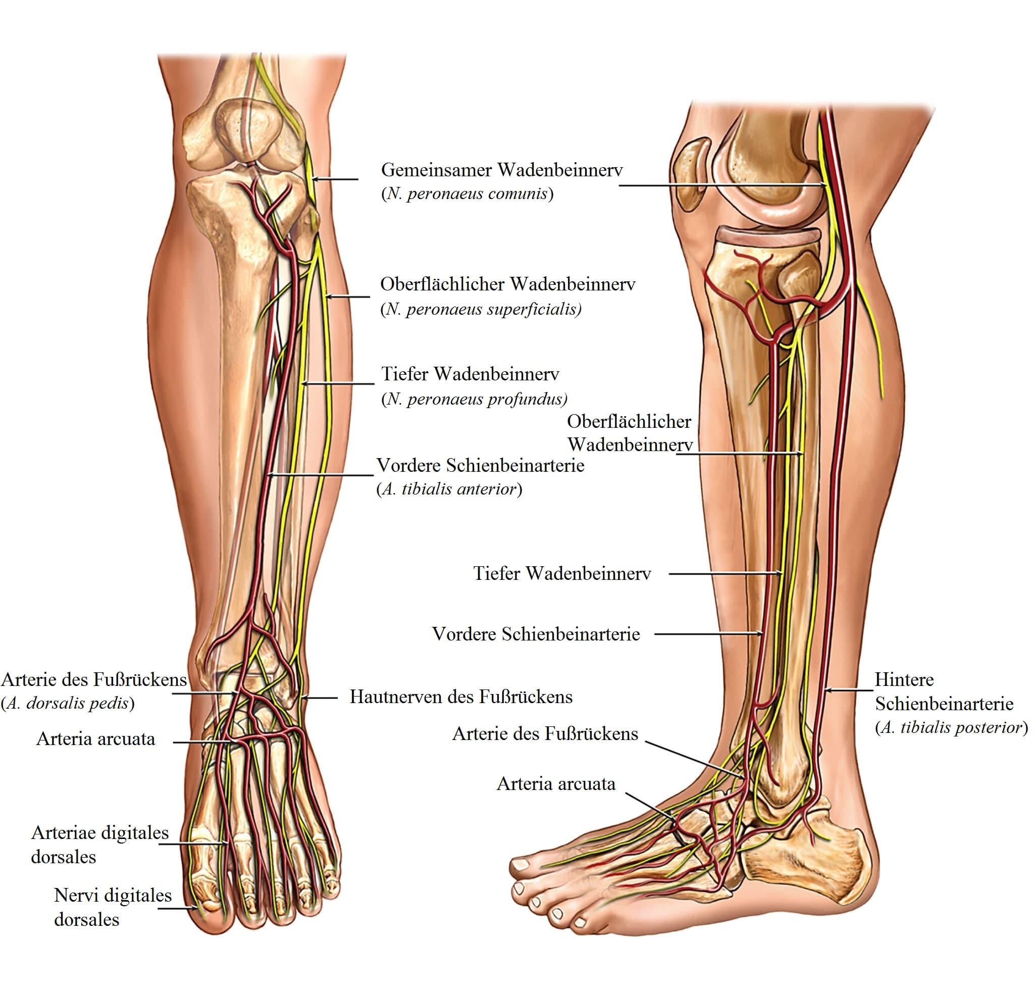 Anatomie, Bein, Nerven, Arterien