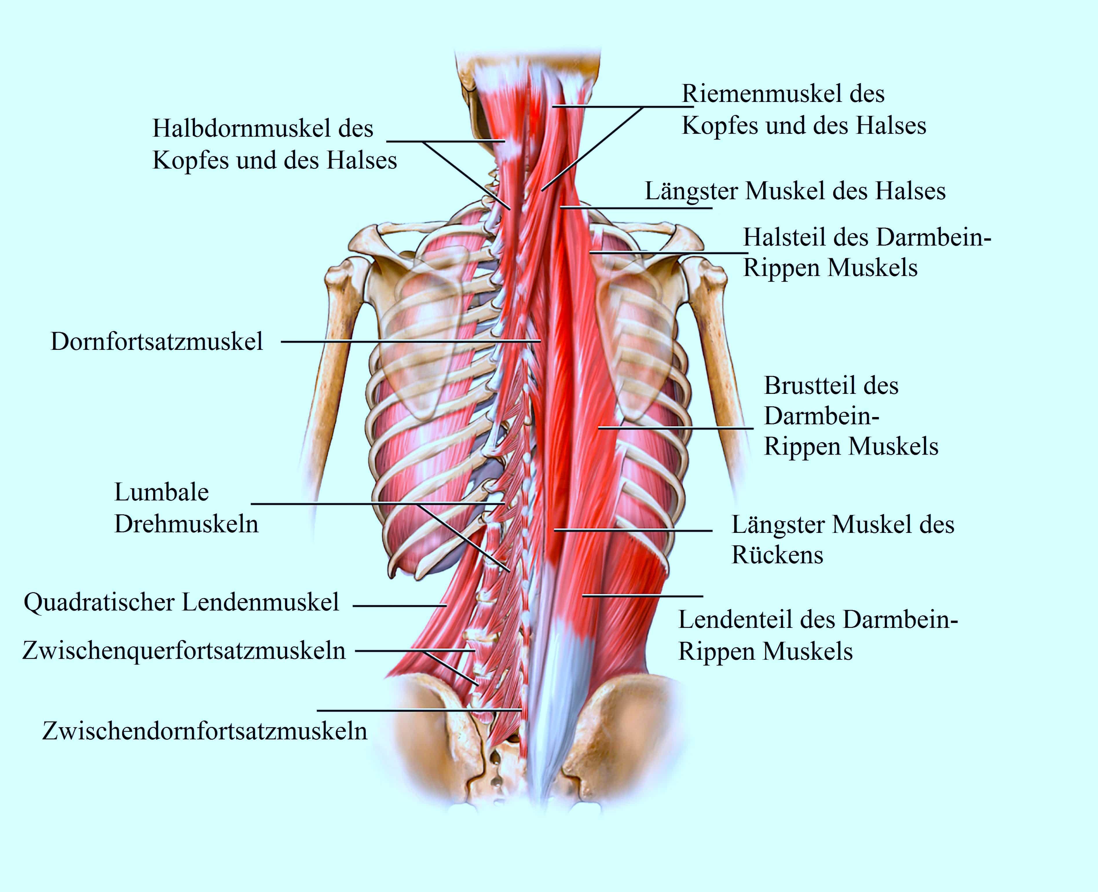 Wunderbar Brustmuskeln Anatomie Zeitgenössisch - Menschliche ...