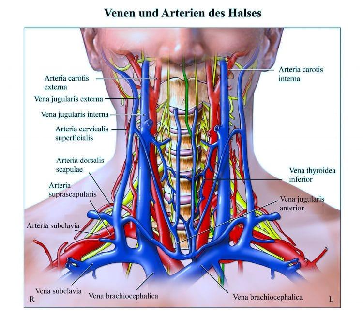 Venen, Arterien, Hals, Carotis