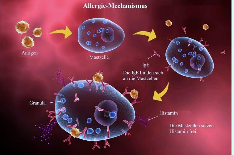 Allergie, Mechanismus, IgE, Antigen