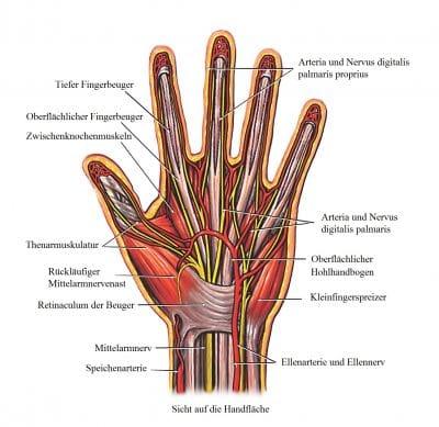 Tiefer-Fingerbeuger-Mittelarmnerv-Speichenarterie